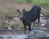 Kneeling Moose, Eustis, Maine.  3988