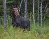 Moose.   Eustis, Maine.   1112