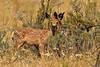 Mule deer, Winthrop WA (2)