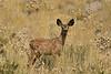 Mule deer, Winthrop WA (12)