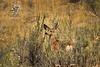 Mule deer, Winthrop WA (8)