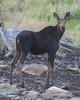Moose.  Eustis, Maine.  4021