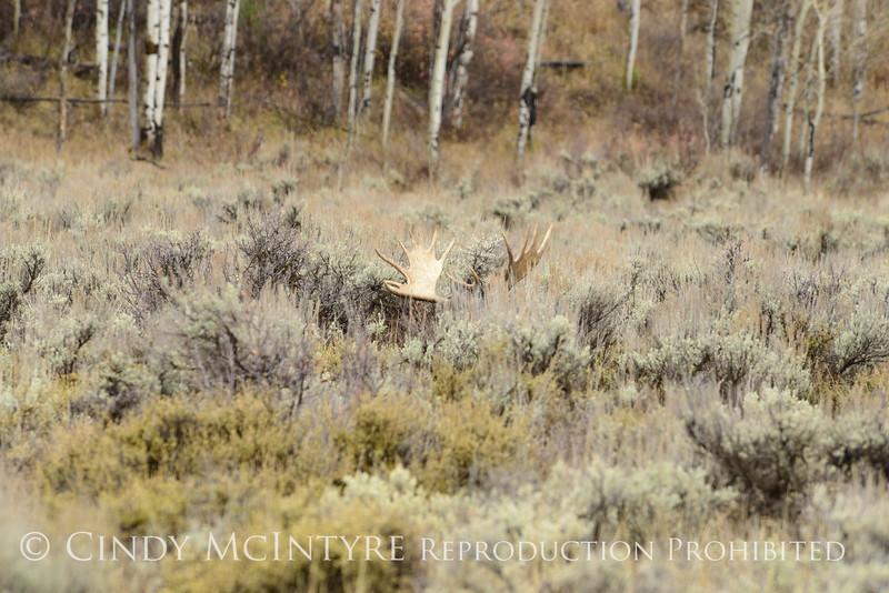 Bull moose resting, Grand Tetons NP WY (1)
