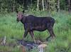 Moose.   Eustis, Maine.  0954