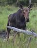 Moose.   Eustis, Maine.  1094