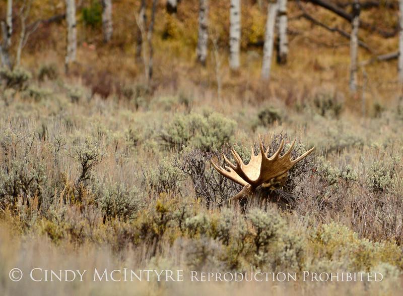 Bull moose resting, Grand Tetons NP WY (5)