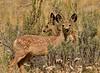 Mule deer, Winthrop WA (5)