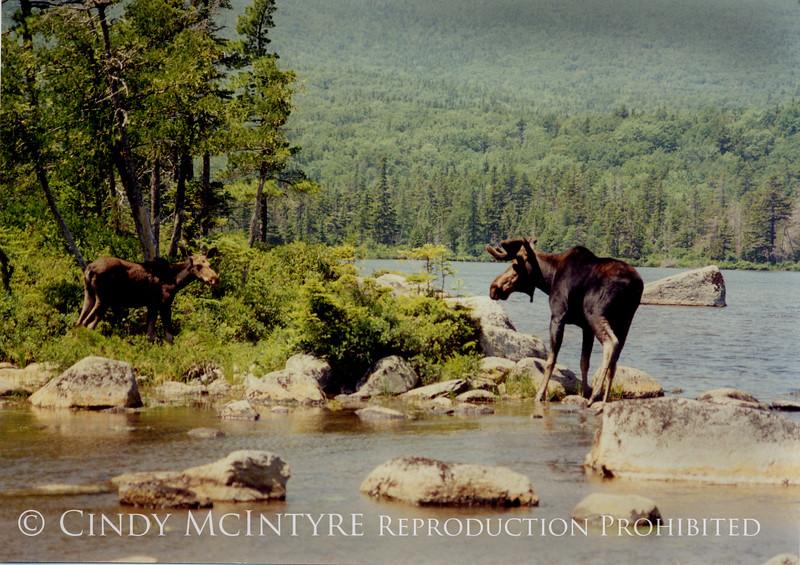 Moose-two Bulls copy