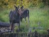 Moose.   Eustis, Maine.  1201