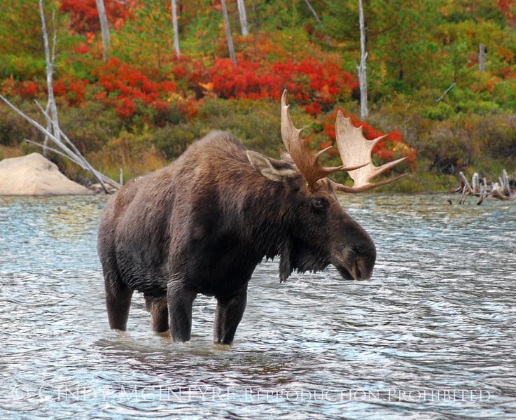 Bull Moose Maine autumn