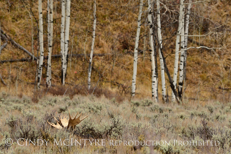 Bull moose resting, Grand Tetons NP WY (3)