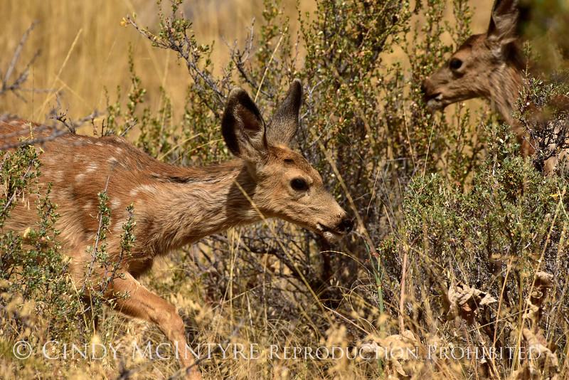 Mule deer, Winthrop WA (1)