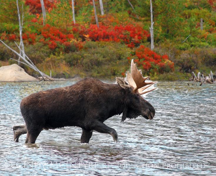 Bull Moose Walking 8x10 copy