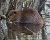 This beaver lives near where the cow moose was eating in the water