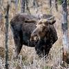 Algonquin Park Spring 2016 Bull Moose