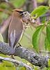 Cedar Waxwing, nest building