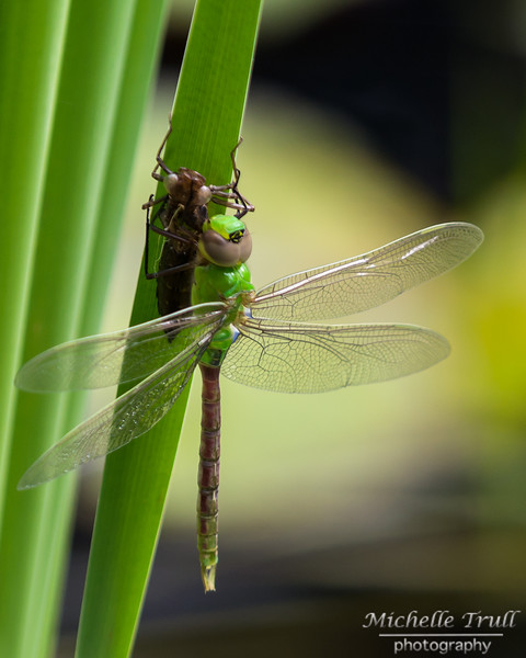Dragonflies and Frogs-1086 8x10