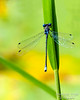 Dragonflies and Frogs-0896