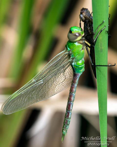 Dragonflies and Frogs-0986 8x10