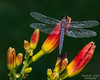 Dragonflies and Butterflies-0753 8x10