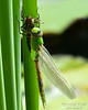 Dragonflies and Frogs-0959 8x10