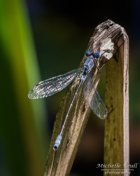 Dragonflies and Frogs-0835 8x10