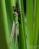 Dragonflies and Frogs-0971 8x10