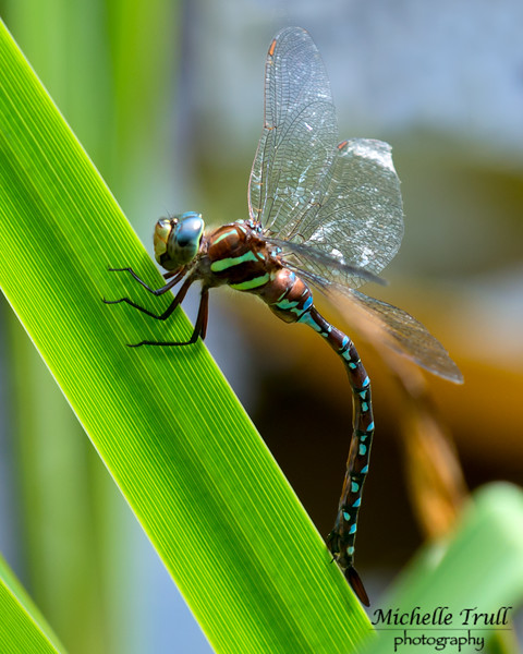 Dragonflies and Frogs-0935 8x10
