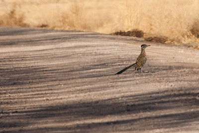 Beep, beep. New Mexico's state bird, the road runner.