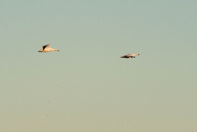 Next images are all light geese before sunset.