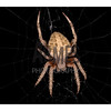 Barn Spider (Araneus cavaticus) - dorsal view<br /> Raleigh, North Carolina, USA
