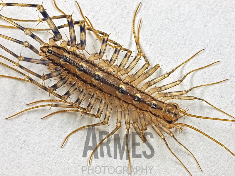 House centipede (Scutigera coleoptrata), Raleigh, North Carolina, USA