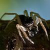 Jumping Spider<br /> Raleigh, North Carolina, USA