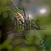 Argiope Spider (Argiope aurantia) <br /> Raleigh, North Carolina,USA