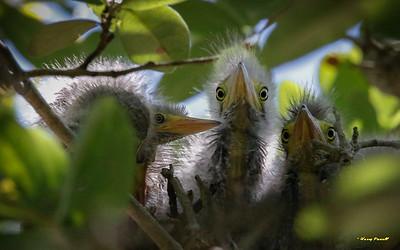 Baby Green Herons