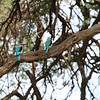 Woodland kingfisher pair