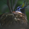 male paradise flycatcher on nest, panting in the heat