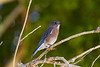 Bluebird, Morongo wild life preserve, Morongo, CA