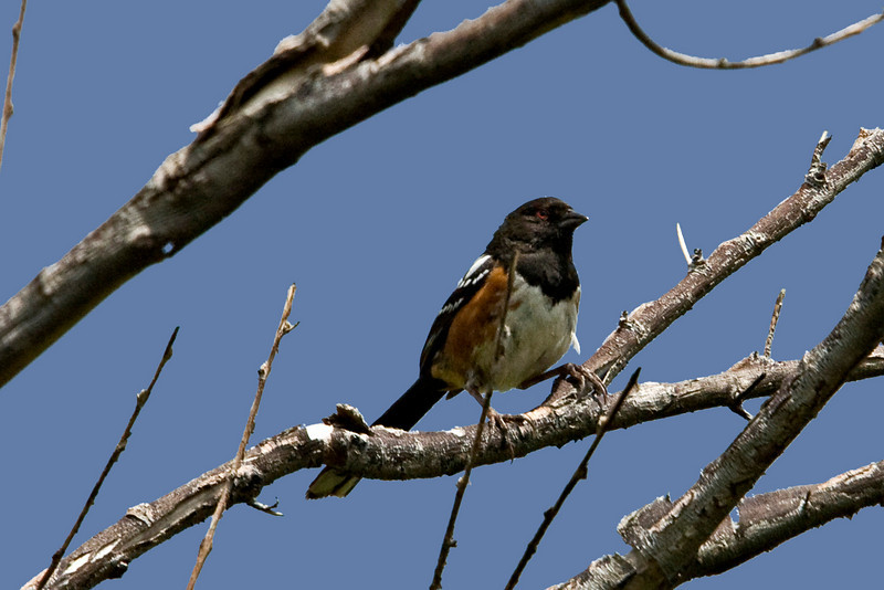 Spotted Towhee, Morango Wildlife preserve, Morango, CA
