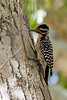 Ladder Woodpecker, Morongo wildlife preserve, Morongo, CA