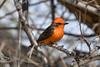 Vermilion Flycatcher, Morongo Wildlife preserve, Morongo,CA