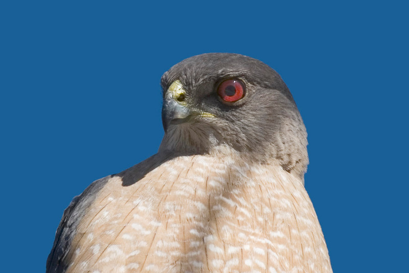 Sharp-shinned Hawk, Morango wildlife preserve, Morango, CA