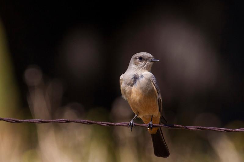 Say's Pheobe, Morango wildlife preserve, Morango, CA
