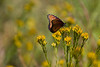Butterfly, Morongo wildlife preserve, Morongo,CA