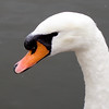 Metz France_mute swan on Moselle River_Sept 2012