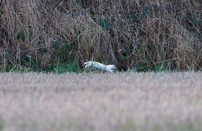 Stoat in ermine