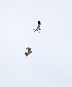 Male hen harrier carrying out a food pass to his mate