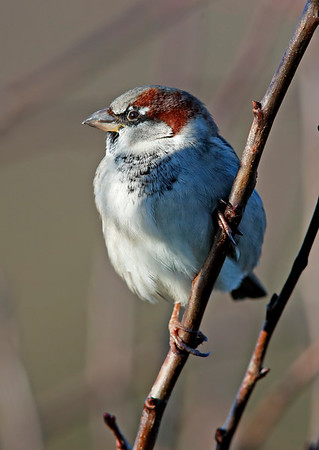 Male hedge sparrow