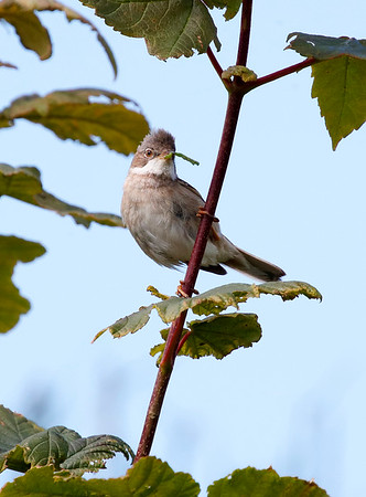 Whitethroat with food
