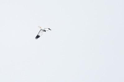 """Male Hen Harrier """"skydancing!"""""""